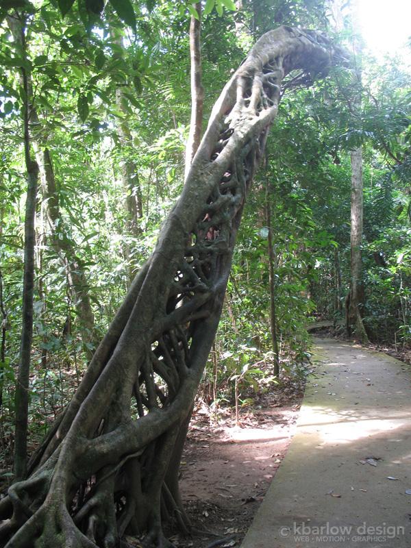 Fig tree - Cape Tribulation